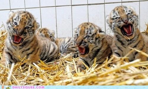 Babies,hay,tiger,cubs,grumpy,tongues,squee