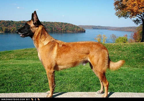 Belgian Malinois,dogs,face off,goggie ob teh week