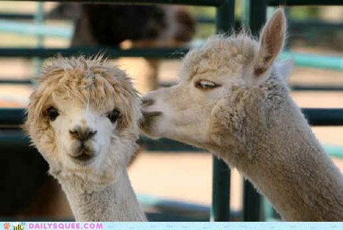 alpaca,floofy,secret,squee spree