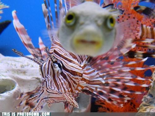 Animal Bomb,animals,blowfish,fish