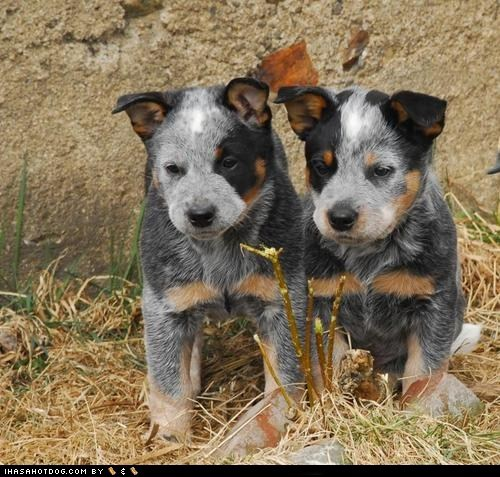 Cyoot Puppy ob teh Day: Aussies