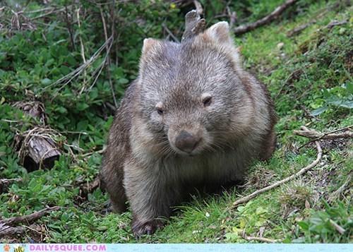 australia,marsupial,squee spree,winner,Wombat