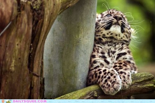 baby,big cats,cute,leopard cubs,leopards,paws,spots,squee,whiskers