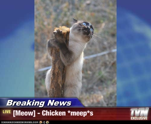 Breaking News - [Meow] - Chicken *meep*s