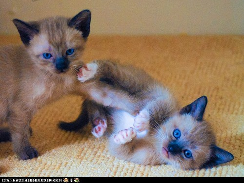 blame,Cats,cyoot kitteh of teh day,kitten,pointing,siamese,two cats,wrestling