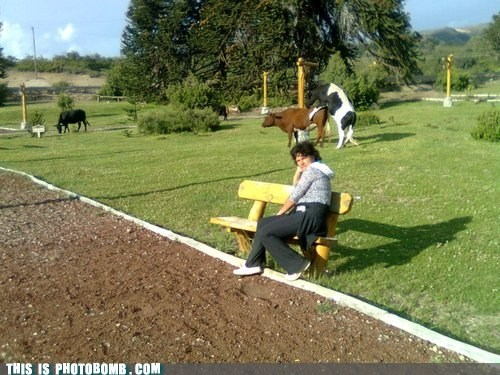 animal,Animal Bomb,bench,cow,farm,photobomb