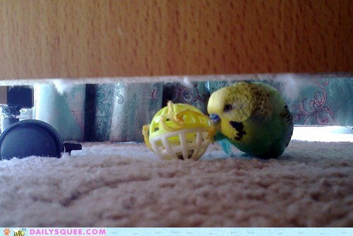 ball,bird,budgie,hiding place,pet,reader squee