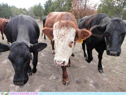 Reader Squee: Cows Are Cute!
