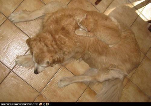 camouflage,Cats,dogs,goggies r owr friends,hiding,Interspecies Love,kitten