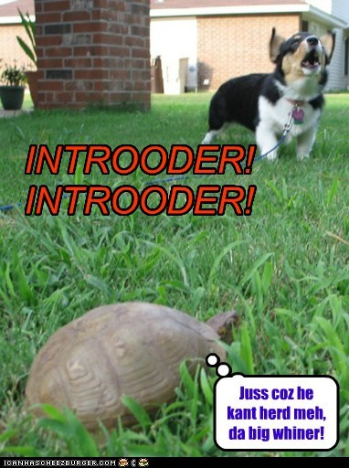 corgi,dogs,grass,guard dog,intruder,turtle