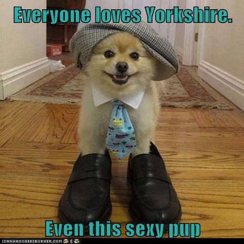 Everyone loves Yorkshire.  Even this sexy pup