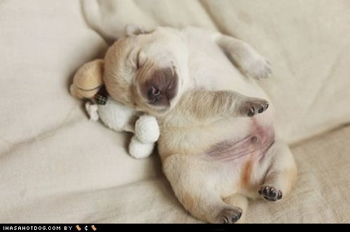 cuddle time,cyoot puppy ob teh day,dogs,puppy,stuffed animal,what breed