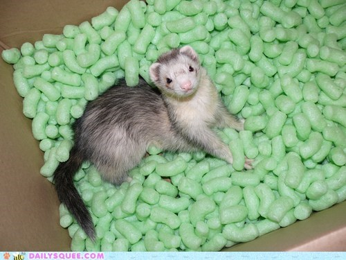 ferret,rodent,package,packing peanuts,squee
