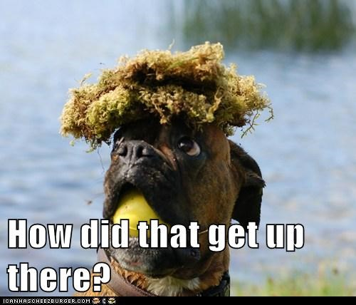 boxer,dogs,how did this happen,moss,tennis ball