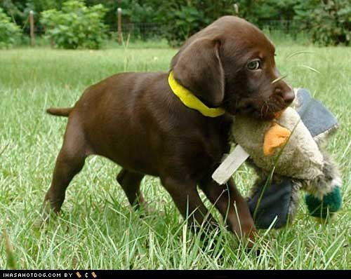 chocolate lab,cyoot puppy ob teh day,dogs,duck,stuffed animal