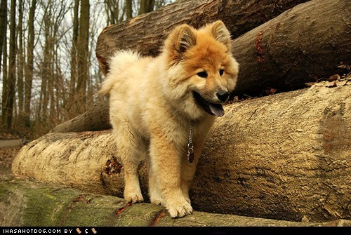 Goggie ob teh Week FACE OFF: Eurasier