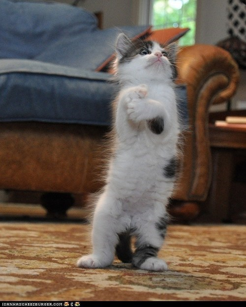 Cats,cyoot kitteh of teh day,human-like,kitten,mad scientist,shocked,standing,surprised