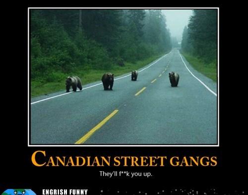 bears,Canada,canadian street gangs,eh,sorry