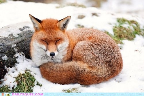 Snow-Dusted Fox