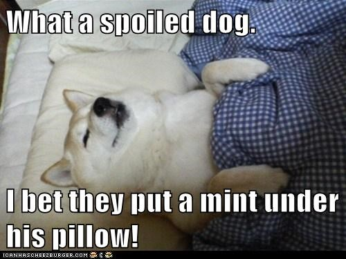 What a spoiled dog.  I bet they put a mint under his pillow!