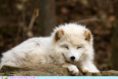 Daily Squee: Snuggly Fox