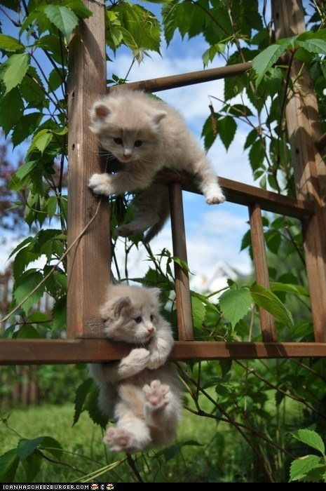 adventures,Cats,climbing,cyoot kitteh of teh day,gardens,kitten,outdoor,plants,trellis,two cats