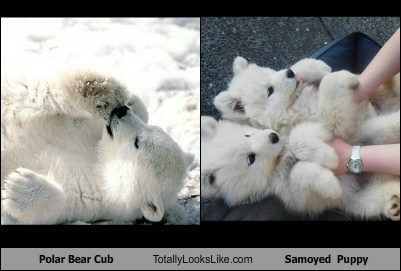 animal,cub,dogs,funny,polar bear,puppy,samoyed,TLL