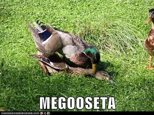 MEGOOSETA