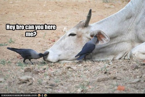 can you hear me now,cow,ears,nose,pigeons