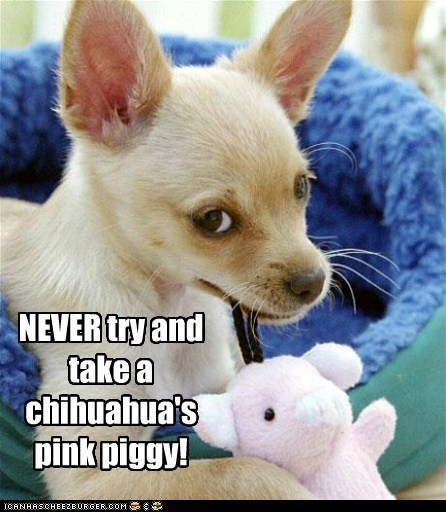 NEVER try and take a chihuahua's pink piggy!
