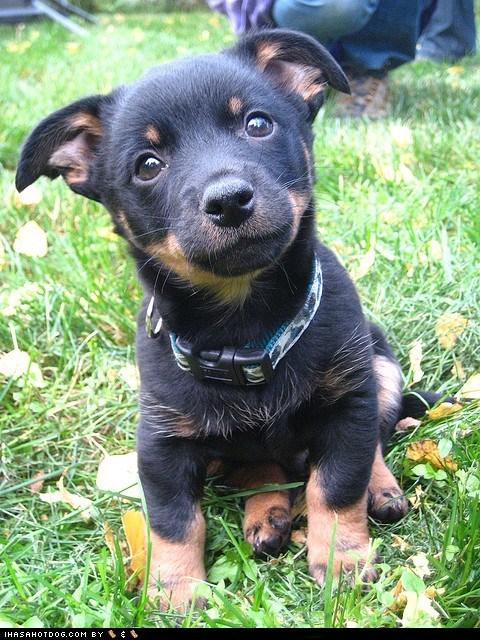 dogs,goggie ob teh week,herding dog,lancashire heeler,puppy