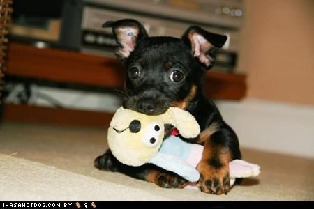bunny,dogs,goggie ob teh week,lancashire heeler,puppy,stuffed animal