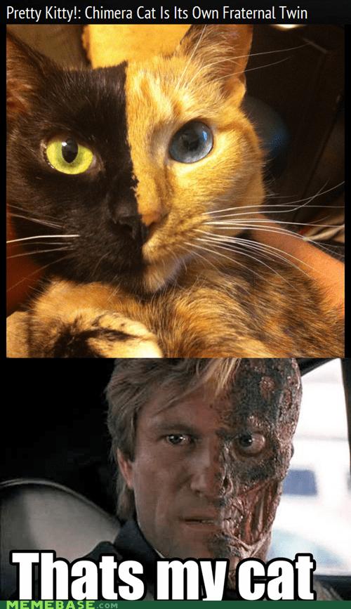 batman,cat,Cats,harvey dent,kitty,two face,venus,venus the two-faced cat