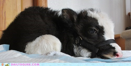 Reader Squee: Squeaky the House Yak
