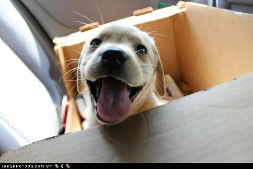 cyoot puppy ob teh day,dogs,happy,labrador,puppy,smile