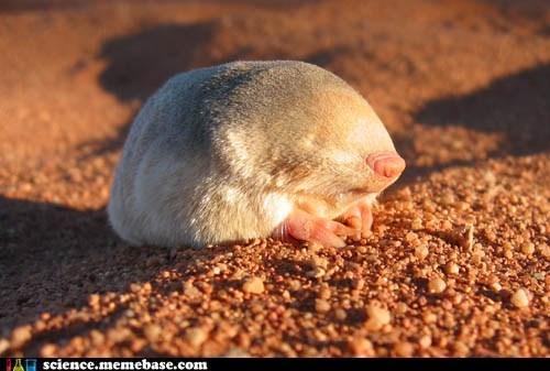 animal,cute,Earth Science,eremitalpa granti,mole