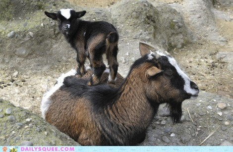 Squee Spree: King of the Goat Hill
