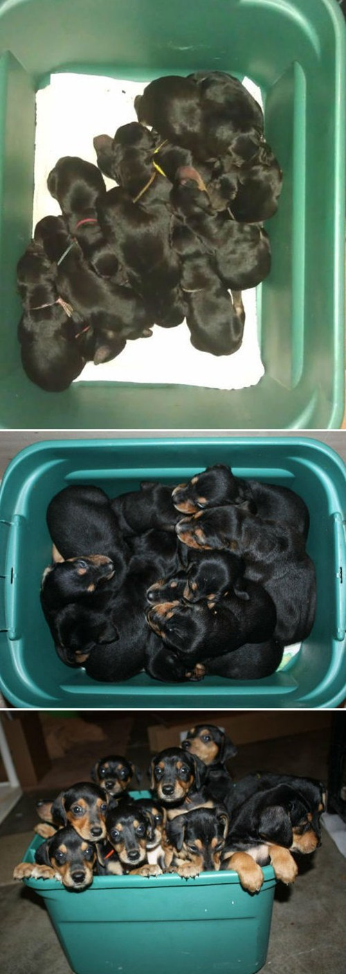 doberman pups,morning fluff