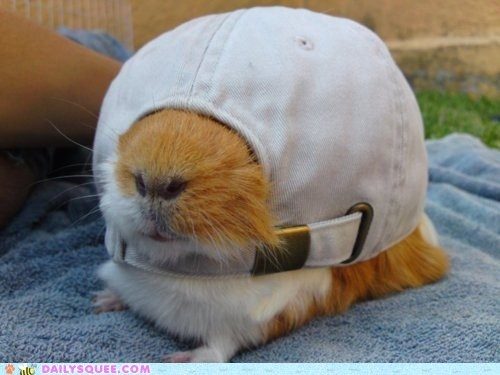 guinea pigs,bro,squee,hat,cool story bro