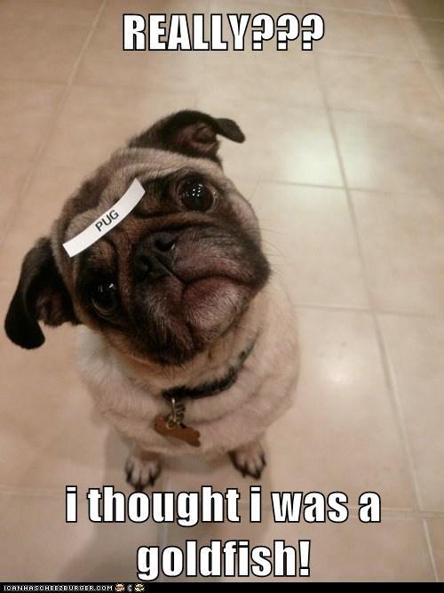 dogs,pug,label,goldfish,confused,identity crisis