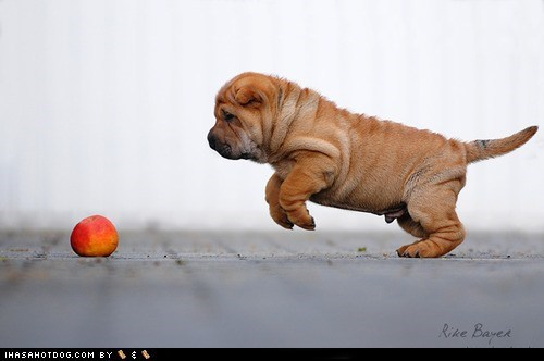 apple,cyoot puppy ob teh day,dogs,puppy,shar pei