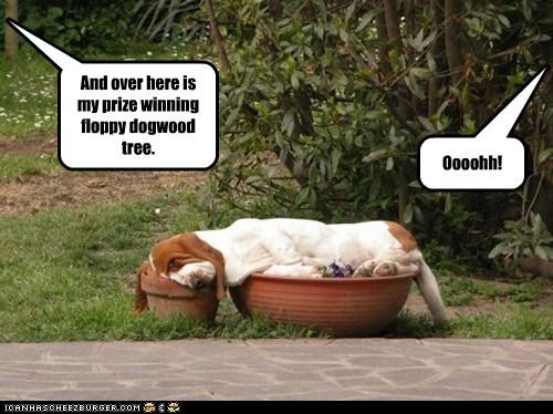 basset hound,captions,categoryimage,dogs,dogwood tree,nap,planters,sleeping