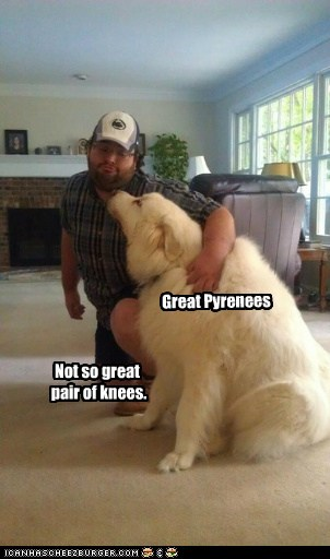 dogs,friends,great pyrenees,kneeling,knees,pun