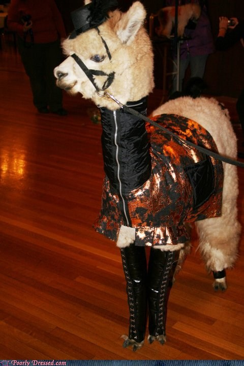 Llama Be the Best Dressed at the Party