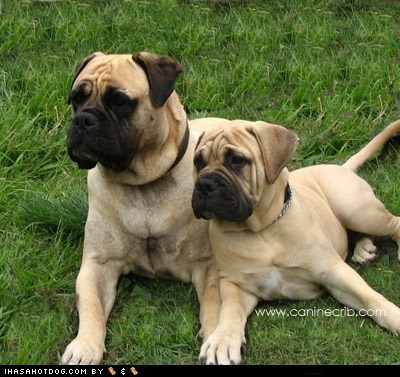 Goggie ob teh Week: Bullmastiff Wins!