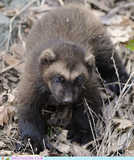 Squee Spree: Baby Squeeverine