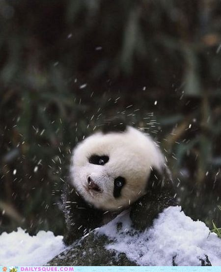 baby,snow,cub,shake it,panda,winter