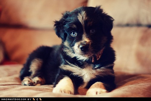 Cyoot Puppy ob teh Day: Mini Aussie