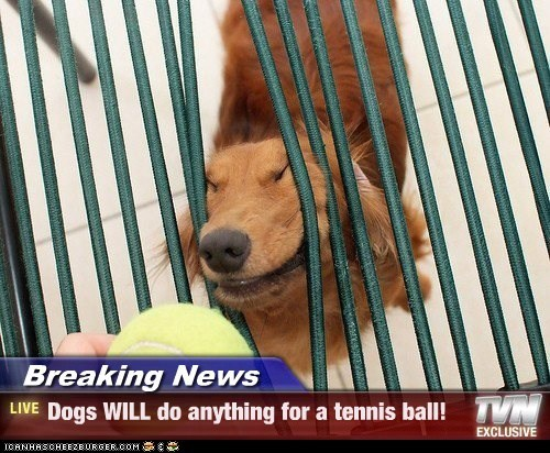 Breaking News - Dogs WILL do anything for a tennis ball!