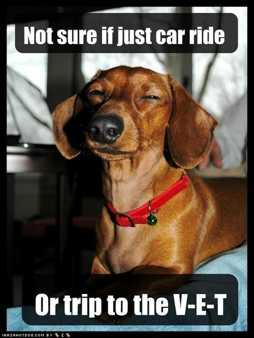 captions,car ride,dachshund,dogs,Not sure if meme,squinting,vet